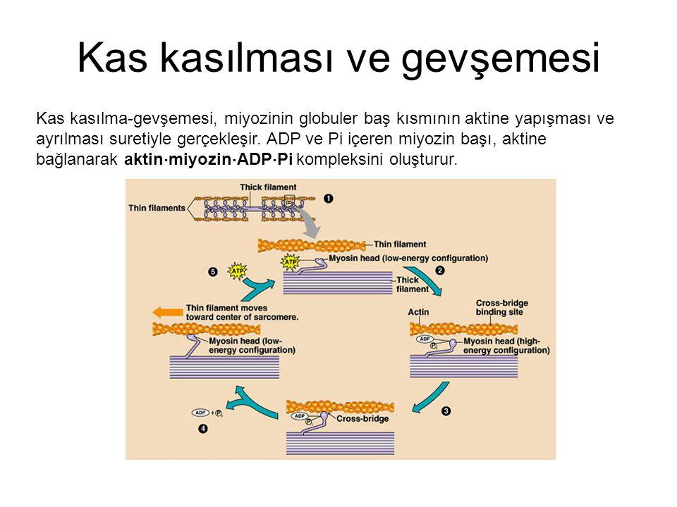 Kas kasılma-gevşemesi, miyozinin globuler baş kısmının aktine yapışması ve ayrılması suretiyle gerçekleşir. ADP ve Pi içeren miyozin başı, aktine bağl