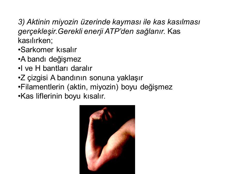 3) Aktinin miyozin üzerinde kayması ile kas kasılması gerçekleşir.Gerekli enerji ATP'den sağlanır. Kas kasılırken; Sarkomer kısalır A bandı değişmez I