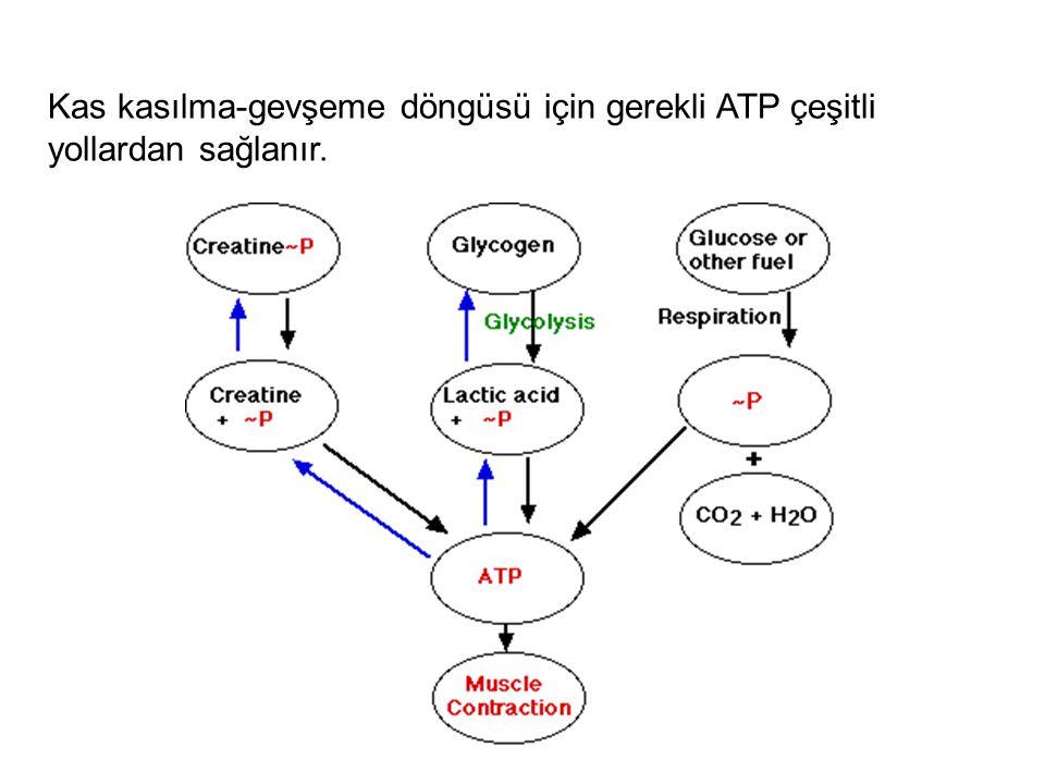Kas kasılma-gevşeme döngüsü için gerekli ATP çeşitli yollardan sağlanır.