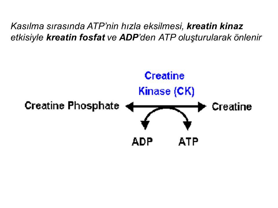 Kasılma sırasında ATP'nin hızla eksilmesi, kreatin kinaz etkisiyle kreatin fosfat ve ADP'den ATP oluşturularak önlenir