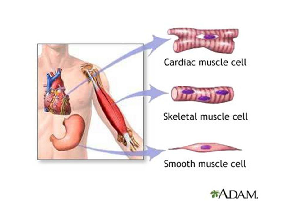 DÜZ KASLAR İç organlar ve damar çeperlerinde bulunur.