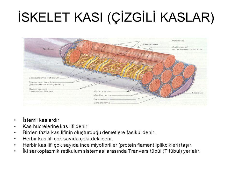 İSKELET KASI (ÇİZGİLİ KASLAR) İstemli kaslardır Kas hücrelerine kas lifi denir. Birden fazla kas lifinin oluşturduğu demetlere fasikül denir. Herbir k