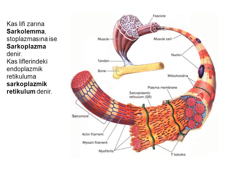 Kas lifi zarına Sarkolemma, stoplazmasına ise Sarkoplazma denir. Kas liflerindeki endoplazmik retikuluma sarkoplazmik retikulum denir.