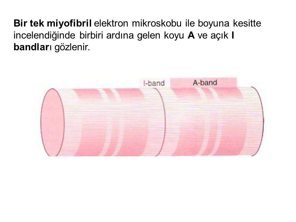 A bandının merkezi kısmı daha az yoğun gözükür ve H bölgesi olarak bilinir; bunun da ortasında bir M çizgisi tanımlanır.