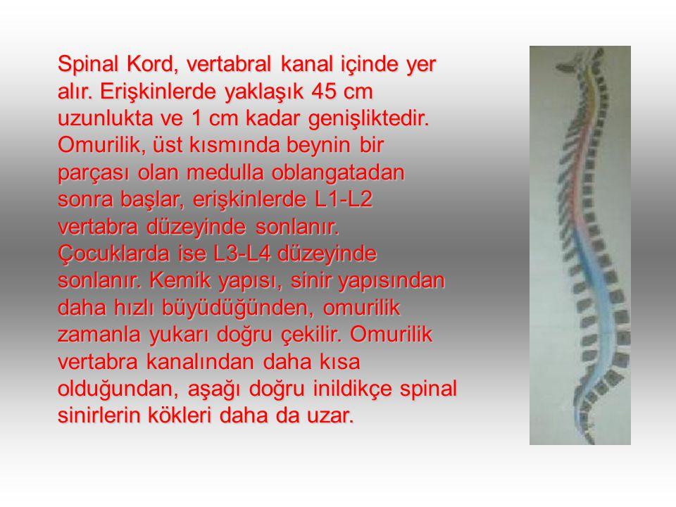 Spinal Kord, vertabral kanal içinde yer alır.