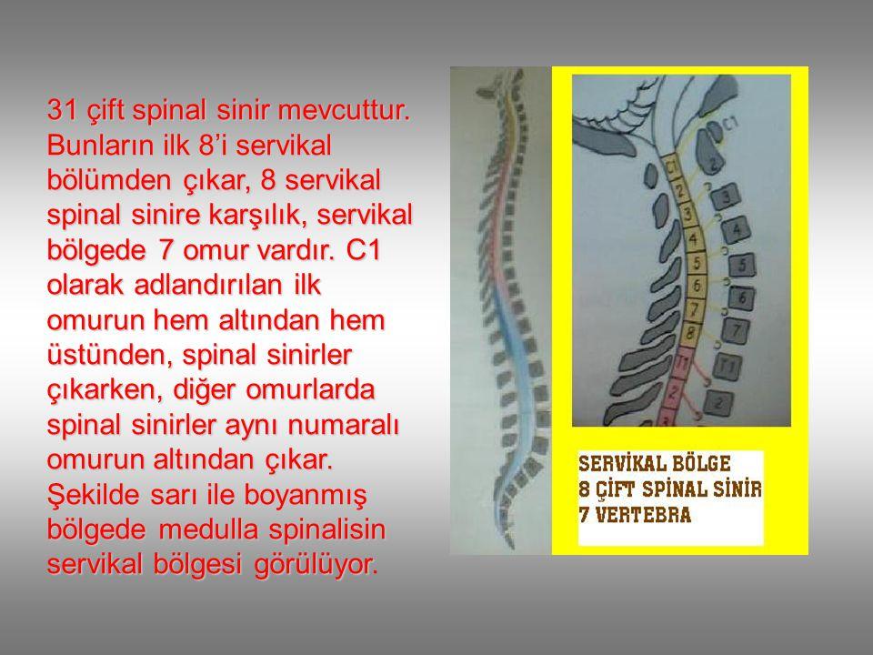 31 çift spinal sinir mevcuttur.