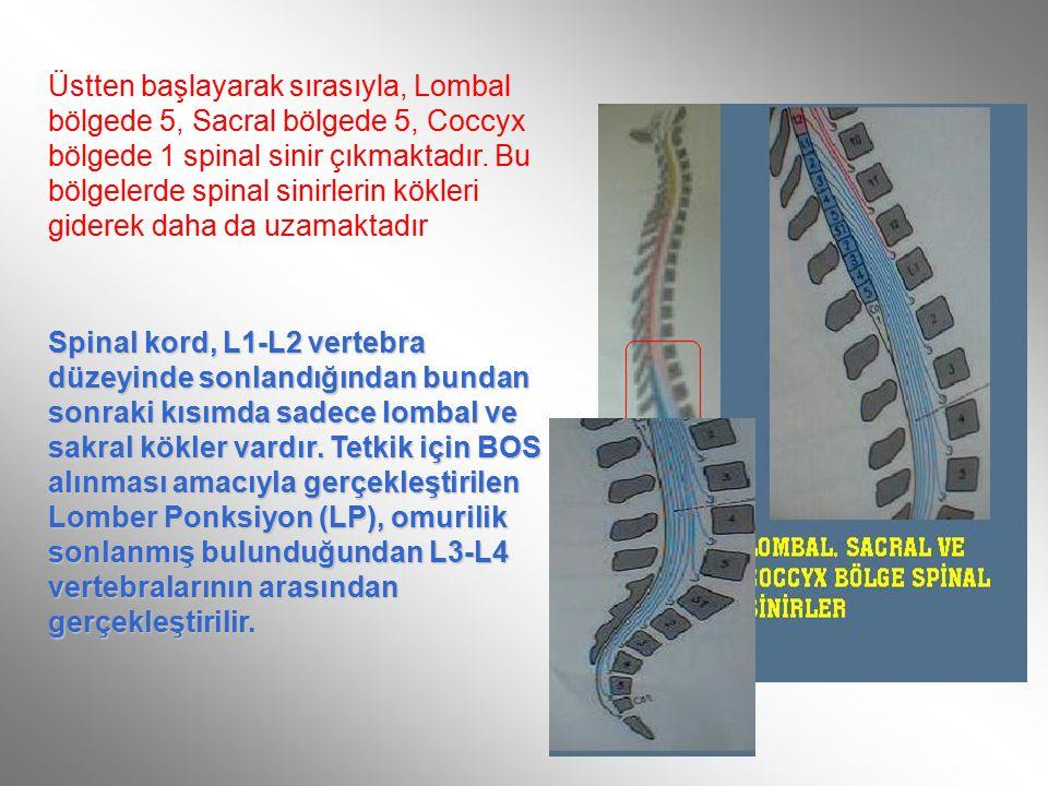 Üstten başlayarak sırasıyla, Lombal bölgede 5, Sacral bölgede 5, Coccyx bölgede 1 spinal sinir çıkmaktadır.