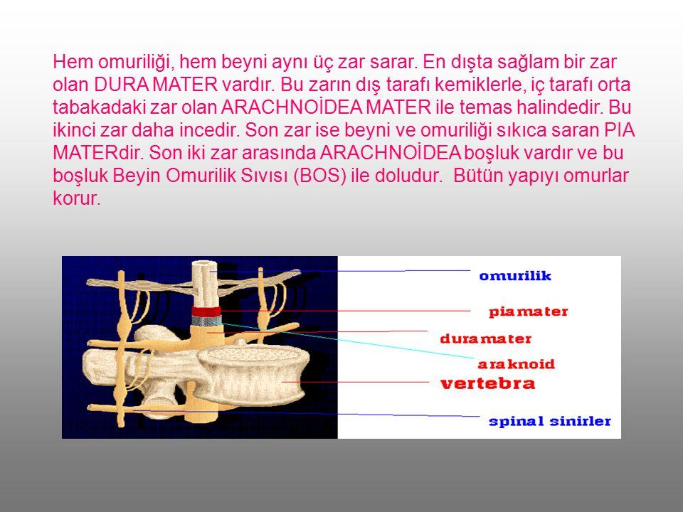 Hem omuriliği, hem beyni aynı üç zar sarar.En dışta sağlam bir zar olan DURA MATER vardır.