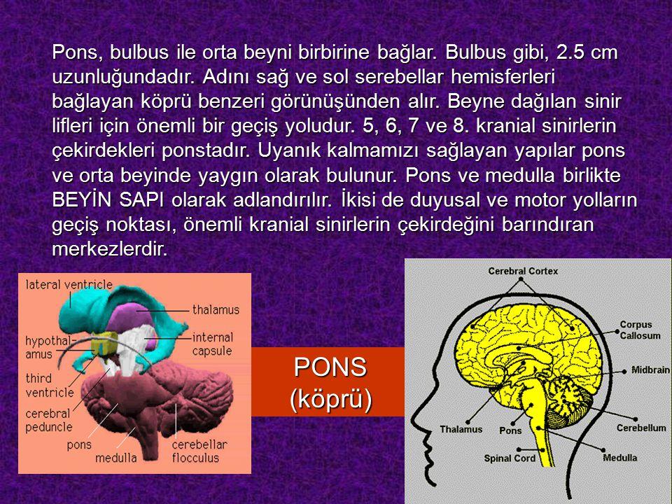 PONS (köprü) Pons, bulbus ile orta beyni birbirine bağlar.