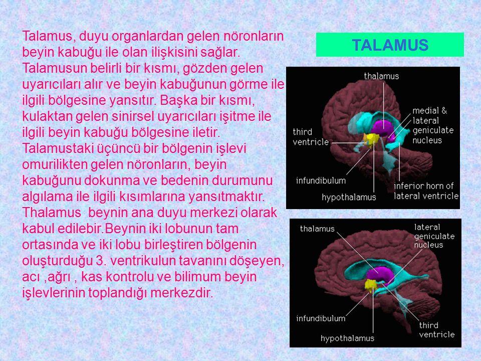 Talamus, duyu organlardan gelen nöronların beyin kabuğu ile olan ilişkisini sağlar.