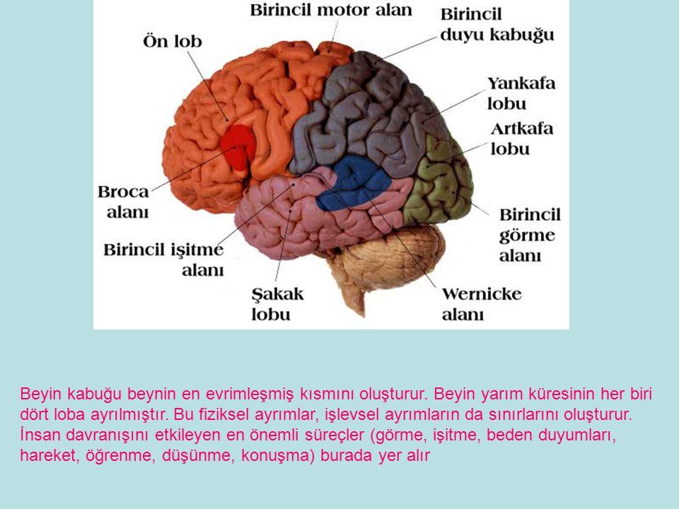Beyin kabuğu beynin en evrimleşmiş kısmını oluşturur.