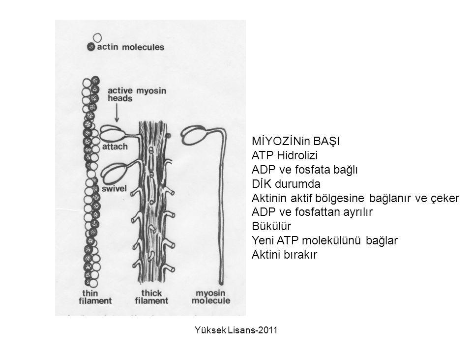 MİYOZİNin BAŞI ATP Hidrolizi ADP ve fosfata bağlı DİK durumda Aktinin aktif bölgesine bağlanır ve çeker ADP ve fosfattan ayrılır Bükülür Yeni ATP mole