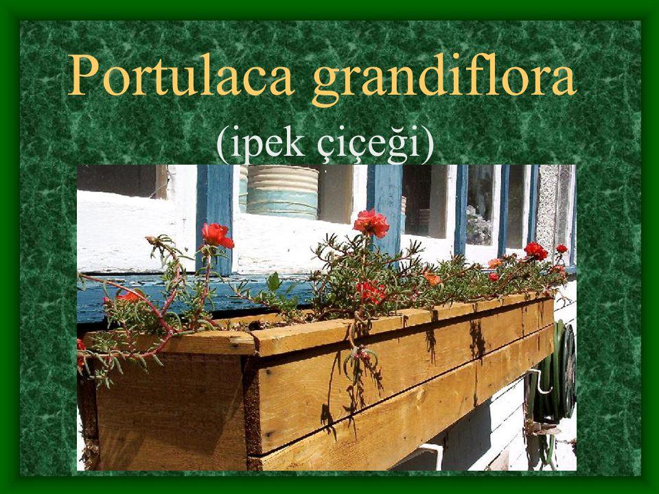 Portulaca grandiflora (ipek çiçeği)