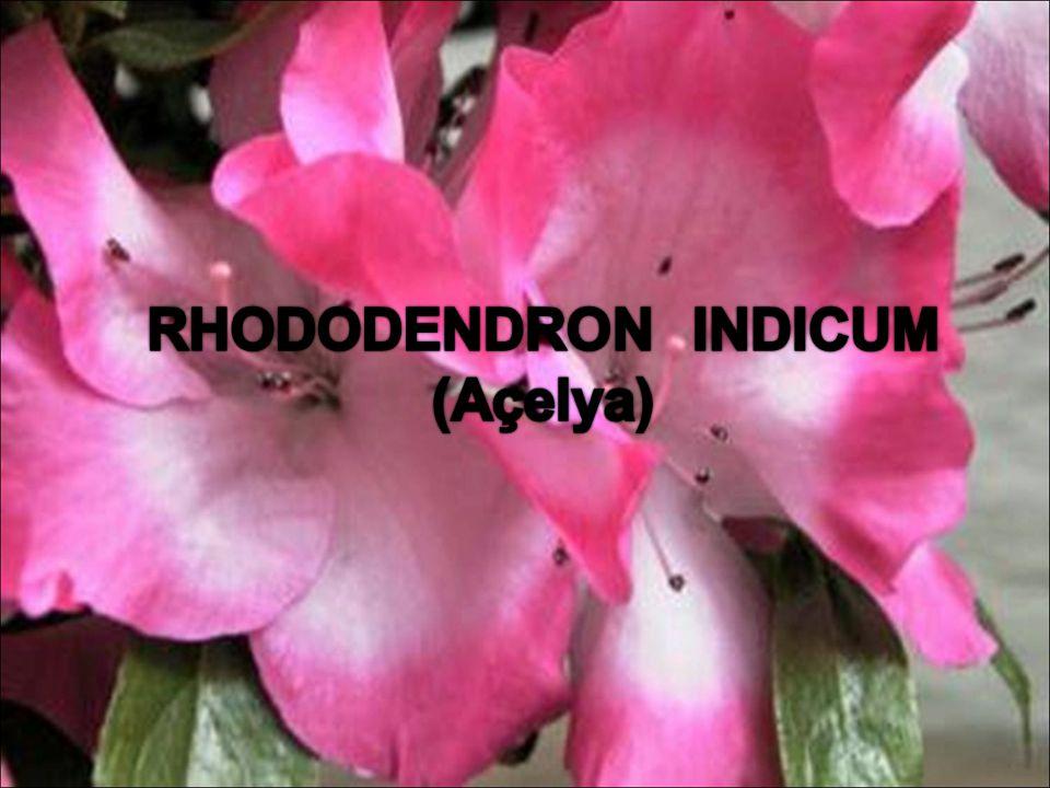 Gübreleme: nisan mayıs ayları haftada bir kez gübre verilebilir. Rhododendron indicum Açelya