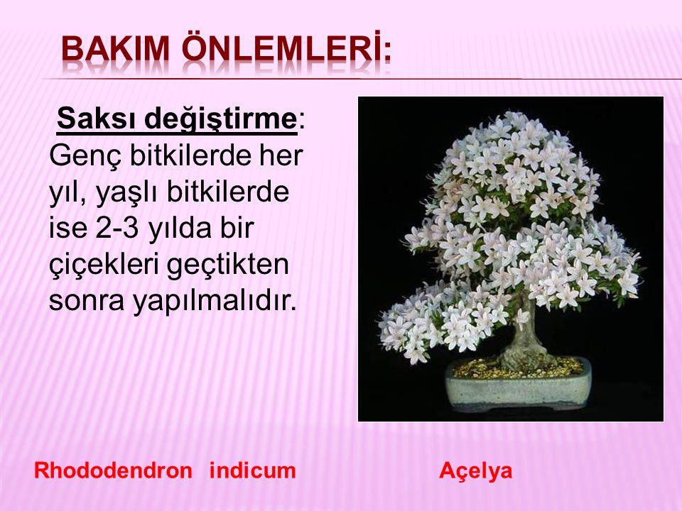 Saksı değiştirme: Genç bitkilerde her yıl, yaşlı bitkilerde ise 2-3 yılda bir çiçekleri geçtikten sonra yapılmalıdır. Rhododendron indicum Açelya