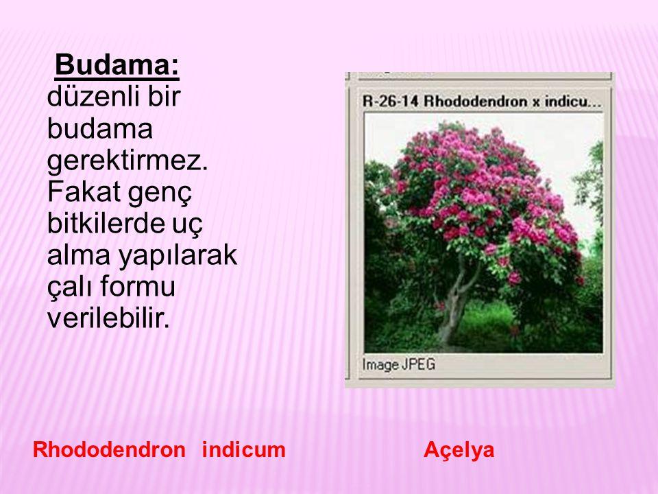 Budama: düzenli bir budama gerektirmez. Fakat genç bitkilerde uç alma yapılarak çalı formu verilebilir. Rhododendron indicum Açelya