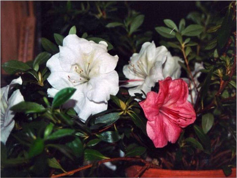  Latincesi: Rhododendron indicum  Sinonimi: Azelia indica  Familyası: Ericaceae (Fundagiller)  Vatanı: Kuzey yarım küre, Japonya, Kuzey Amerika Rhododendron indicum Açelya