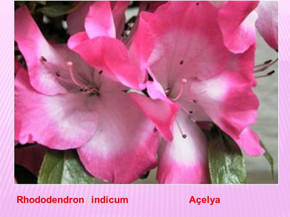 Açelyalar çalı görünümünde her dem yeşil bitkilerdir.