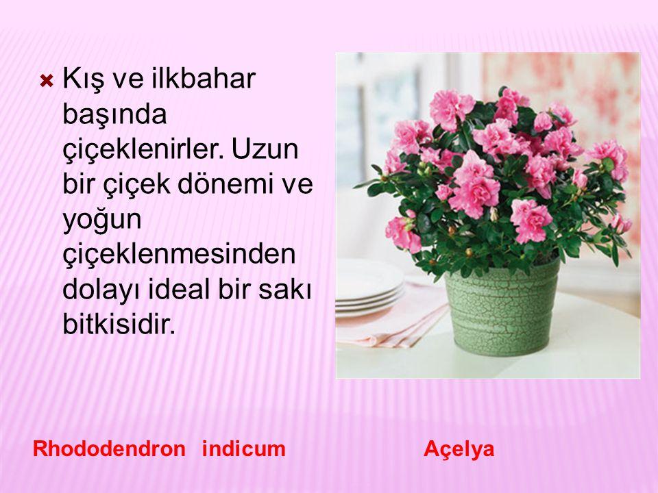  Kış ve ilkbahar başında çiçeklenirler. Uzun bir çiçek dönemi ve yoğun çiçeklenmesinden dolayı ideal bir sakı bitkisidir. Rhododendron indicum Açelya