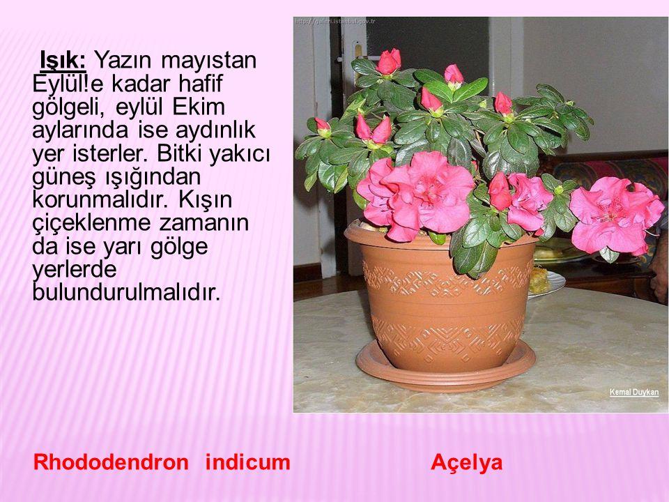 Toprak: Asit karakterli, humuslu orman toprağı kullanılmalıdır. Rhododendron indicum Açelya