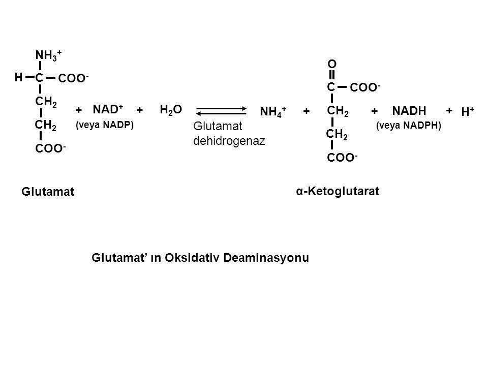 NH 3 + CH 2 C COO - H O CH 2 C COO - H+H+ NAD + (veya NADP) H2OH2O + + NH 4 + + + NADH (veya NADPH) + Glutamat α-Ketoglutarat Glutamat' ın Oksidativ D