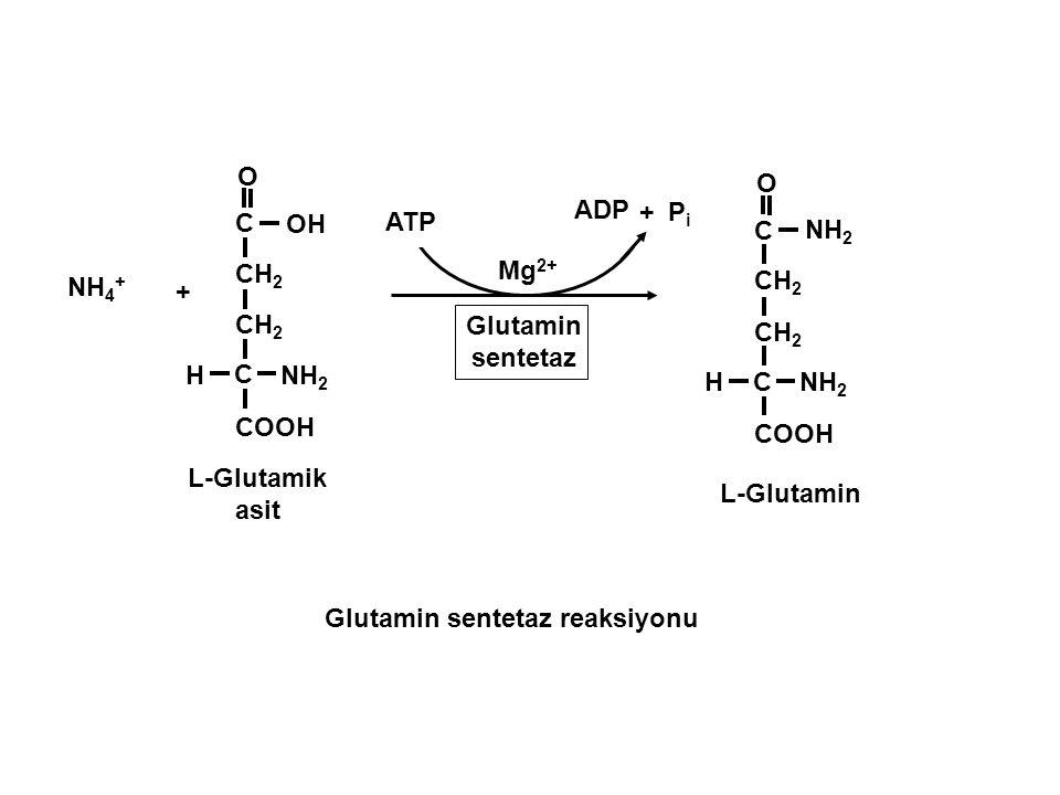 NH 2 H + Glutamin sentetaz NH 4 + CH 2 C COOH OH O C NH 2 H CH 2 C COOH O C NH 2 ATP + ADP PiPi Mg 2+ L-Glutamik asit L-Glutamin Glutamin sentetaz rea