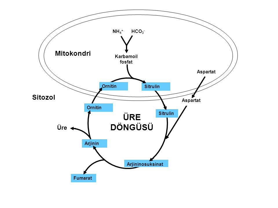 Karbamoil fosfat Ornitin Sitrulin Arjininosuksinat ÜRE DÖNGÜSÜ Arjinin Fumarat Ornitin Üre Mitokondri Sitozol NH 4 + HCO 3 - Aspartat