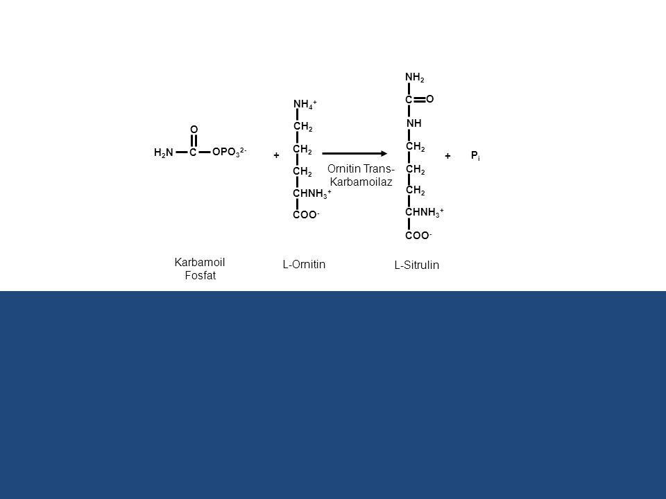 + H2NH2NC OPO 3 2- O PiPi + CH 2 NH 4 + COO - CHNH 3 + COO - Ornitin Trans- Karbamoilaz Karbamoil Fosfat L-Ornitin L-Sitrulin NH 2 C NH CH 2 CHNH 3 +