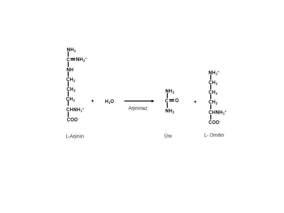 + C CH 2 NH COO - NH 2 C CH 2 CHNH 3 + Arjininaz L- Ornitin NH 2 + L-Arjinin H2OH2O O NH 2 CH 2 COO - NH 3 + CH 2 CHNH 3 + + Üre