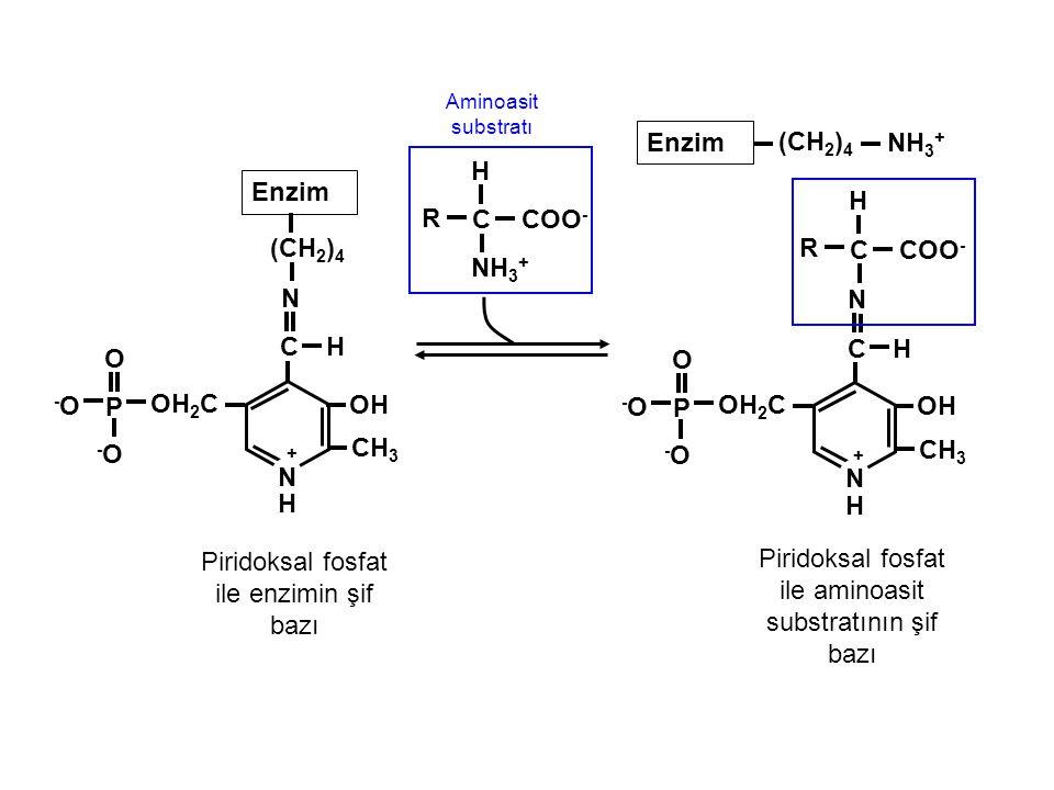 NH 3 + Aminoasit substratı C Enzim H COO - OH N + H OH 2 C H (CH 2 ) 4 P -O-O O -O-O CH 3 N C Enzim H OH N + H OH 2 C C P -O-O O -O-O CH 3 N R (CH 2 )