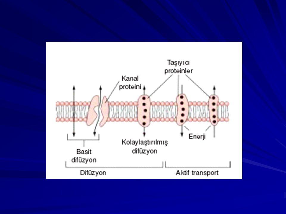 Kas membranında çok sayıda asetilkolin reseptörü görülmektedir; bunlar gerçekte asetilkolin kapılı iyon kanallarıdır ve asetilkolin veziküllerinin sinaptik yarığa boşaltıldığı yoğun çubuk alanlarının hemen altında uzanan subnöral kıvrımların ağızlarında yerleşmişlerdir.