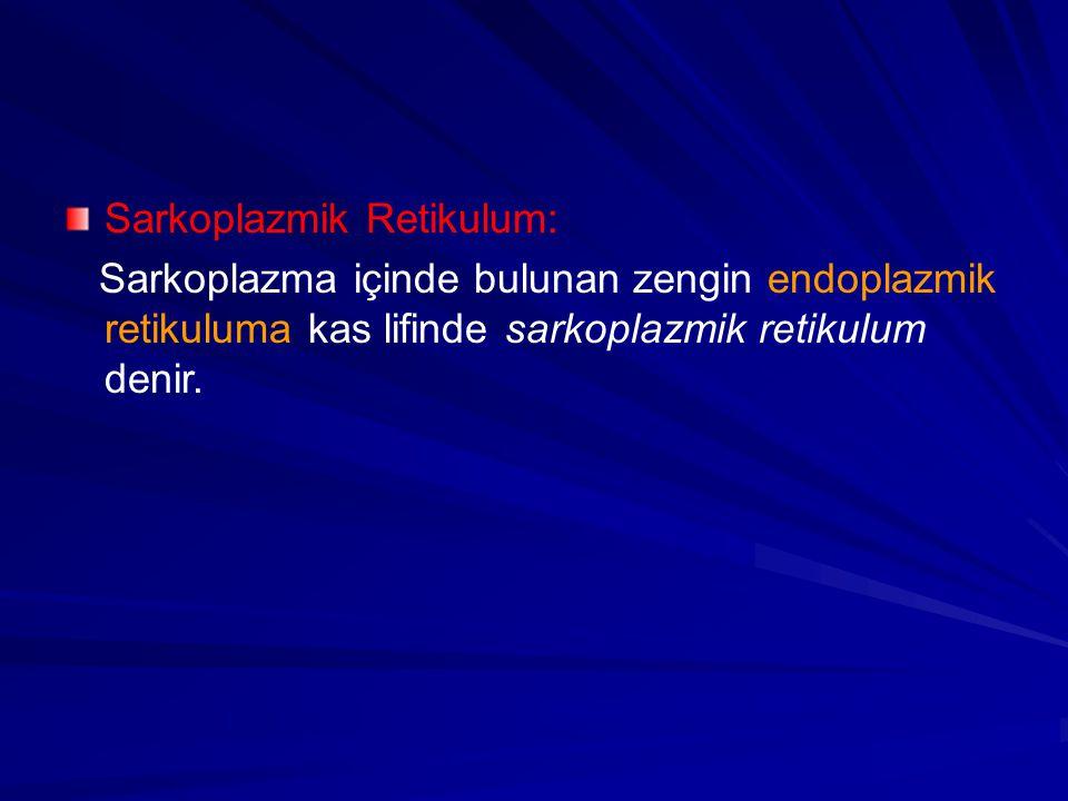 Sarkoplazmik Retikulum: Sarkoplazma içinde bulunan zengin endoplazmik retikuluma kas lifinde sarkoplazmik retikulum denir.