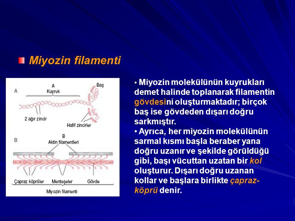 Miyozin filamenti Miyozin molekülünün kuyrukları demet halinde toplanarak filamentin gövdesini oluşturmaktadır; birçok baş ise gövdeden dışarı doğru sarkmıştır.