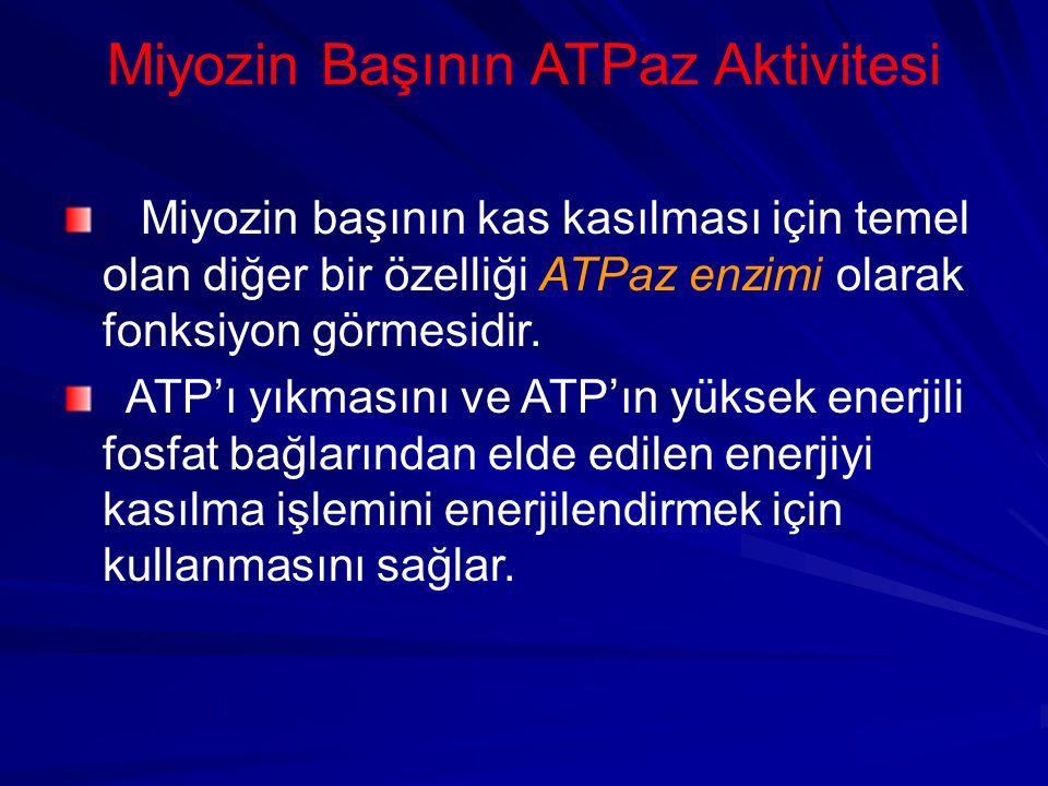 Miyozin Başının ATPaz Aktivitesi Miyozin başının kas kasılması için temel olan diğer bir özelliği ATPaz enzimi olarak fonksiyon görmesidir.