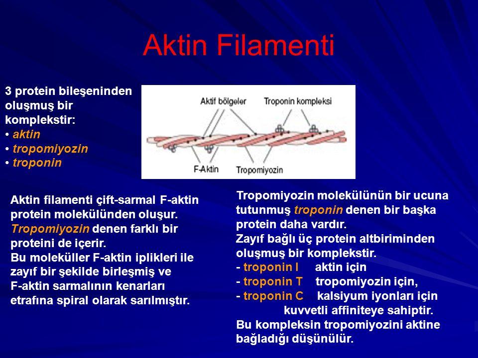 Aktin Filamenti 3 protein bileşeninden oluşmuş bir komplekstir: aktin tropomiyozin troponin Aktin filamenti çift-sarmal F-aktin protein molekülünden oluşur.