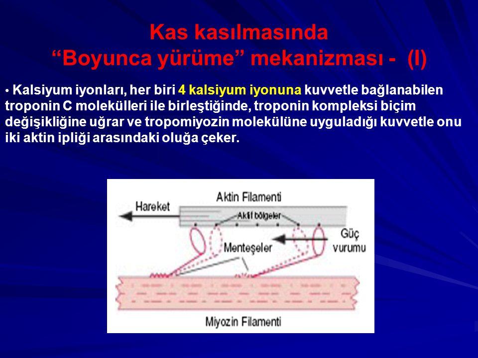 Kas kasılmasında Boyunca yürüme mekanizması - (I) Kalsiyum iyonları, her biri 4 kalsiyum iyonuna kuvvetle bağlanabilen troponin C molekülleri ile birleştiğinde, troponin kompleksi biçim değişikliğine uğrar ve tropomiyozin molekülüne uyguladığı kuvvetle onu iki aktin ipliği arasındaki oluğa çeker.
