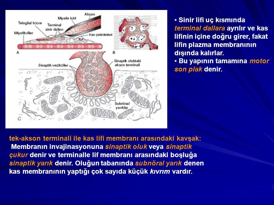Sinir lifi uç kısmında terminal dallara ayrılır ve kas lifinin içine doğru girer, fakat lifin plazma membranının dışında kalırlar.
