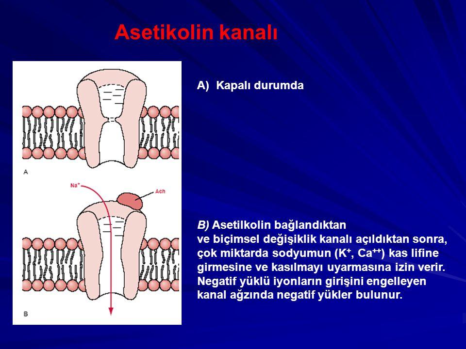 Asetikolin kanalı A) Kapalı durumda B) Asetilkolin bağlandıktan ve biçimsel değişiklik kanalı açıldıktan sonra, çok miktarda sodyumun (K +, Ca ++ ) kas lifine girmesine ve kasılmayı uyarmasına izin verir.