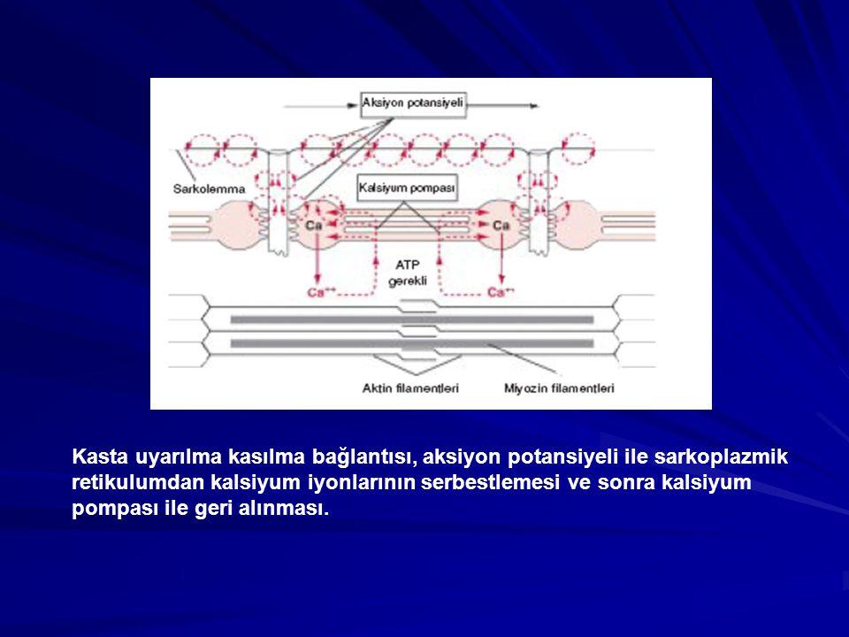 Kasta uyarılma kasılma bağlantısı, aksiyon potansiyeli ile sarkoplazmik retikulumdan kalsiyum iyonlarının serbestlemesi ve sonra kalsiyum pompası ile geri alınması.