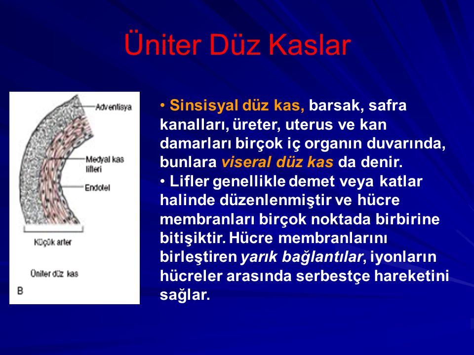 Üniter Düz Kaslar Sinsisyal düz kas, barsak, safra kanalları, üreter, uterus ve kan damarları birçok iç organın duvarında, bunlara viseral düz kas da denir.