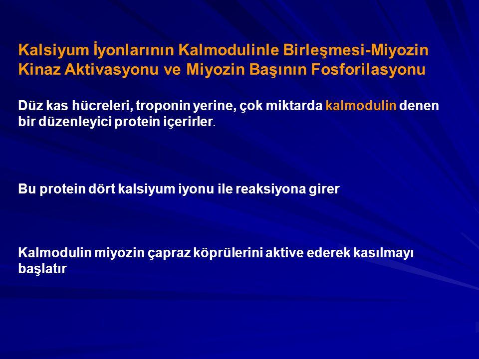 Kalsiyum İyonlarının Kalmodulinle Birleşmesi-Miyozin Kinaz Aktivasyonu ve Miyozin Başının Fosforilasyonu Düz kas hücreleri, troponin yerine, çok miktarda kalmodulin denen bir düzenleyici protein içerirler.