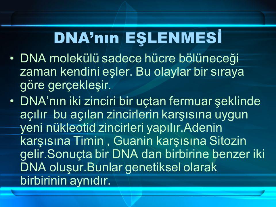 DNA'NIM ÇİFT ZİNCİRLİ SARMAL YAPISI Karşılıklı zincirler birleşirken A karşısına T ve G karşısına S gelir. Bu nedenle DNA da Adenin sayısı Timin sayıs