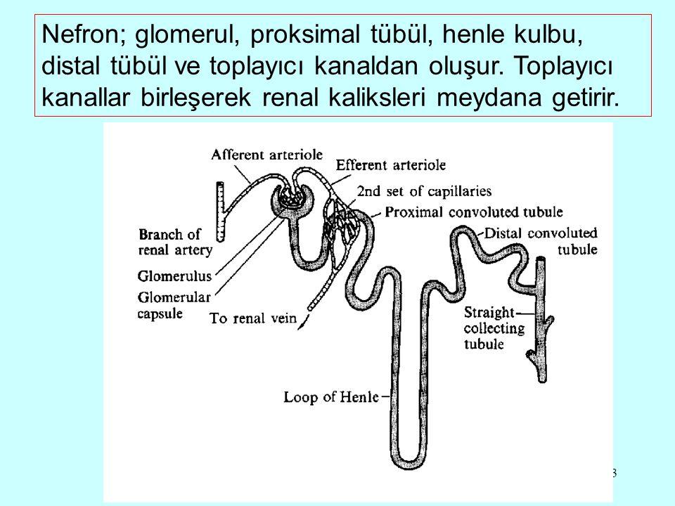 13 Nefron; glomerul, proksimal tübül, henle kulbu, distal tübül ve toplayıcı kanaldan oluşur.