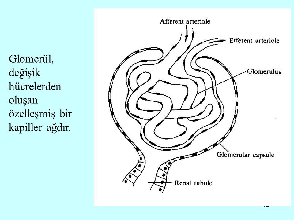 14 Glomerül, değişik hücrelerden oluşan özelleşmiş bir kapiller ağdır.
