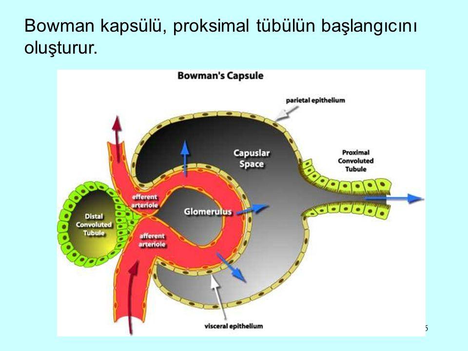 16 Bowman kapsülü, proksimal tübülün başlangıcını oluşturur.