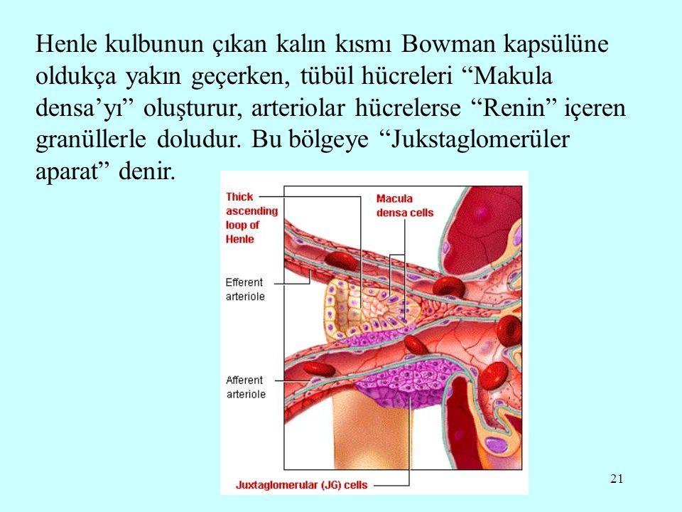 21 Henle kulbunun çıkan kalın kısmı Bowman kapsülüne oldukça yakın geçerken, tübül hücreleri Makula densa'yı oluşturur, arteriolar hücrelerse Renin içeren granüllerle doludur.