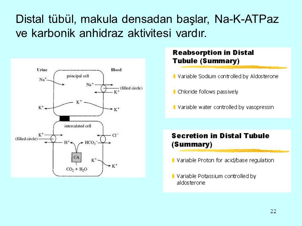 22 Distal tübül, makula densadan başlar, Na-K-ATPaz ve karbonik anhidraz aktivitesi vardır.