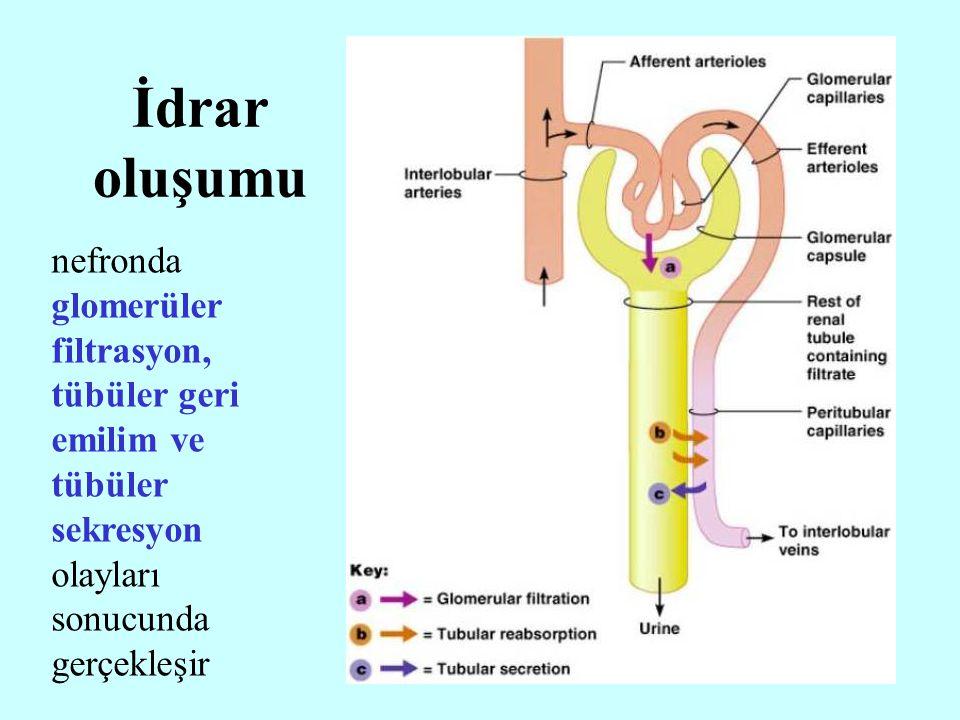 24 nefronda glomerüler filtrasyon, tübüler geri emilim ve tübüler sekresyon olayları sonucunda gerçekleşir İdrar oluşumu