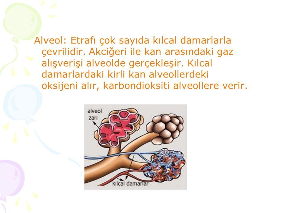 Alveol: Etrafı çok sayıda kılcal damarlarla çevrilidir. Akciğeri ile kan arasındaki gaz alışverişi alveolde gerçekleşir. Kılcal damarlardaki kirli kan