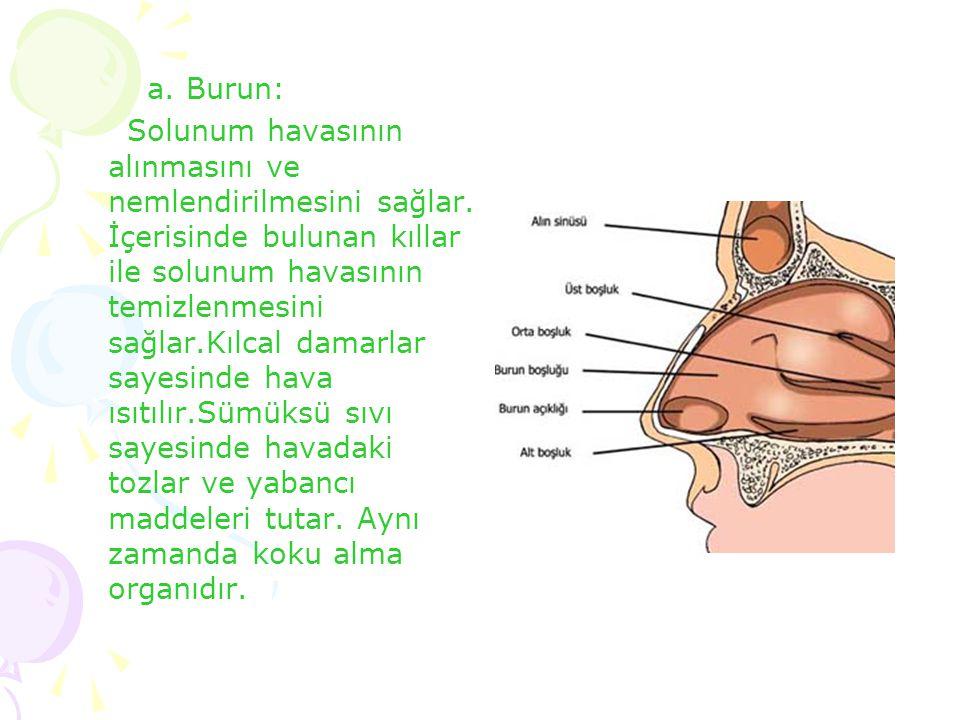 a. Burun: Solunum havasının alınmasını ve nemlendirilmesini sağlar. İçerisinde bulunan kıllar ile solunum havasının temizlenmesini sağlar.Kılcal damar